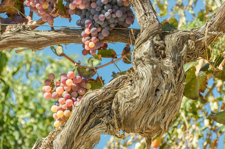 grapes of love